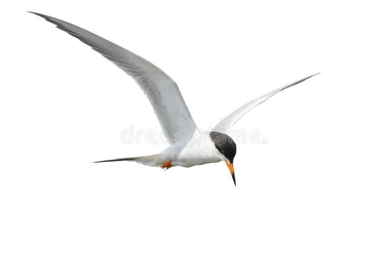 Gemeine Seeschwalbe im Flug lizenzfreie stockbilder