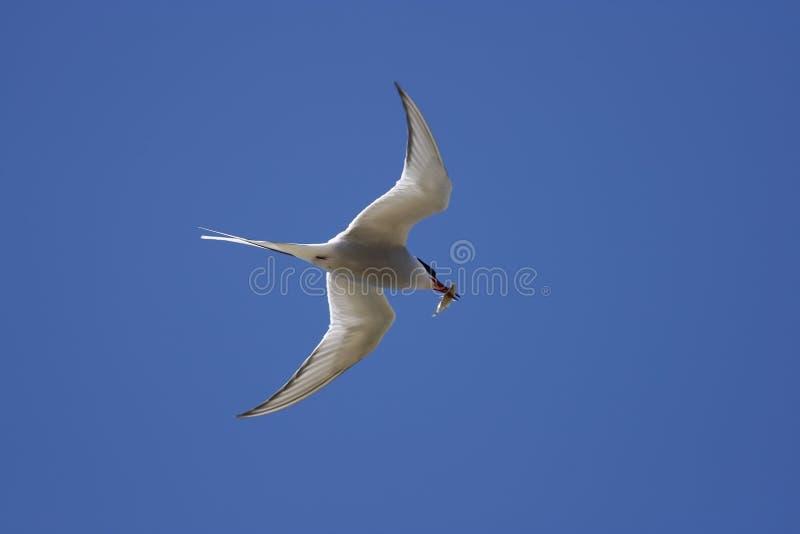 Gemeine Seeschwalbe - Sterna Hirundo stockfoto