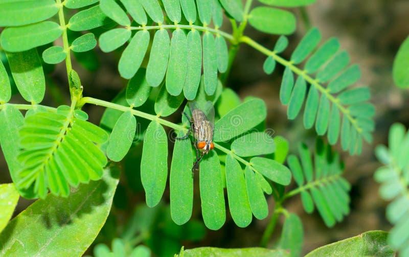 Gemeine Stubenfliege, die auf grünen Blättern sitzt stockfoto