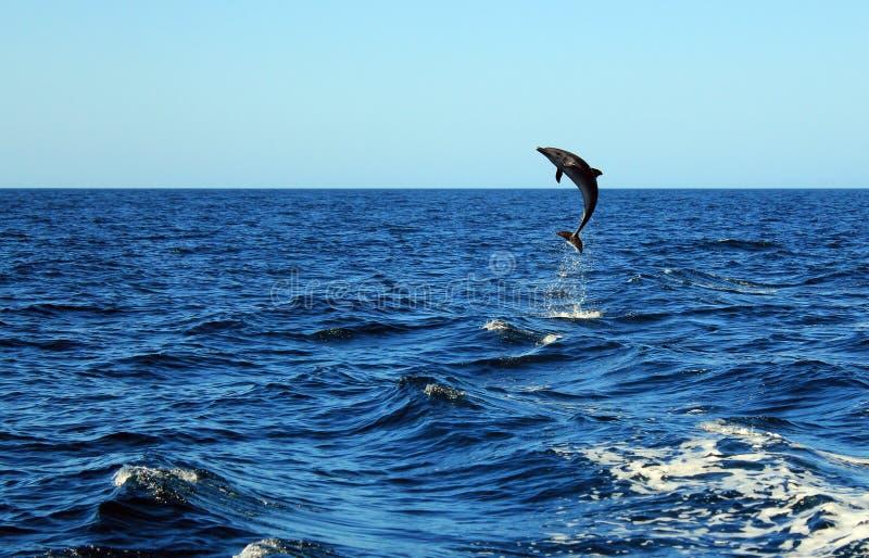 Gemeiner Bottlenose-Delphin lizenzfreies stockfoto
