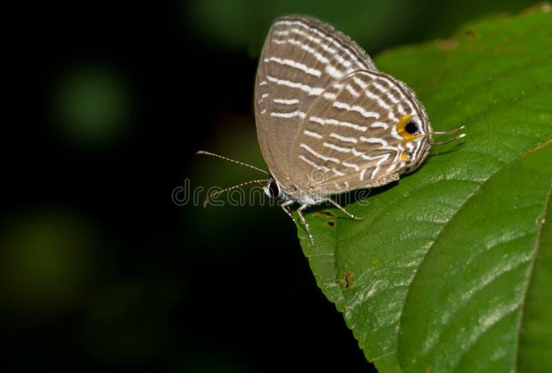 Gemeiner Cerulean Schmetterling lizenzfreies stockbild
