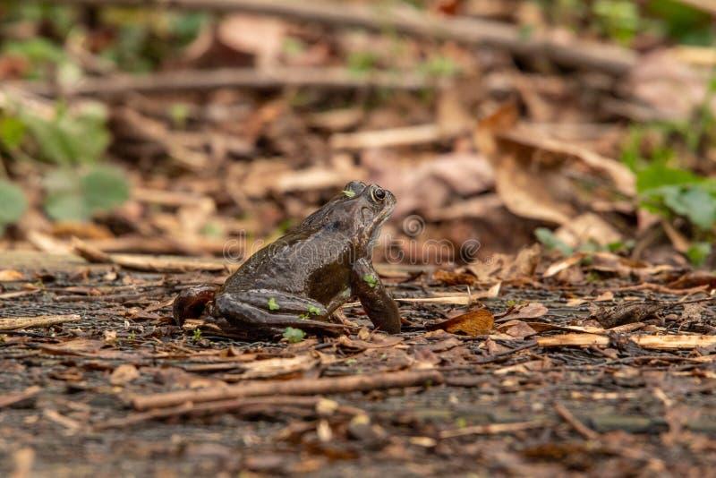 Gemeiner Frosch aus den Grund im Wald stockfoto