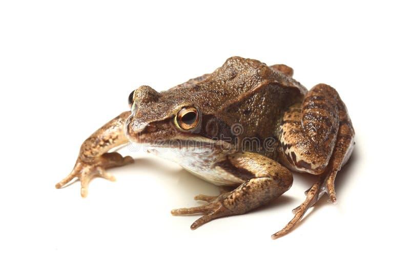 Download Gemeiner Frosch (Rana Temporaria) Stockfoto - Bild von weiß, rana: 27725944