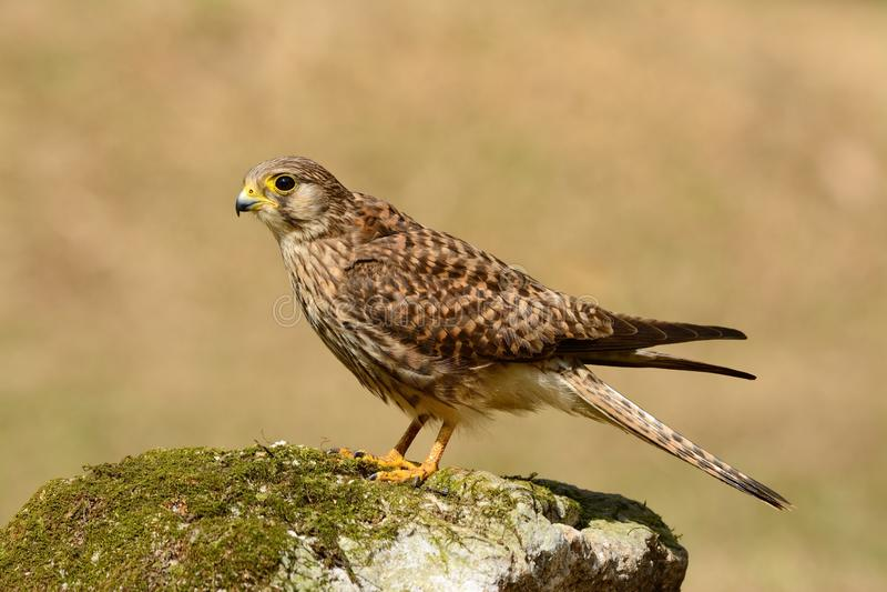 Gemeiner Kestrel (Falco tinnunculus) stockfotos