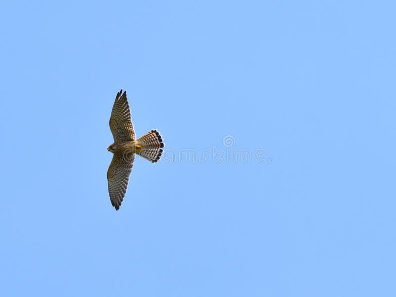 Gemeiner Kestrel im Flug stockfotos