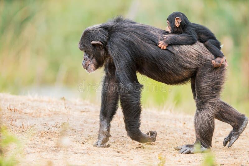 Gemeiner Schimpanse mit einem Babyschimpansen lizenzfreie stockfotos