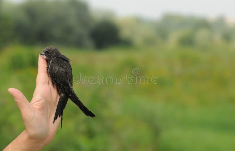 Gemeiner schneller Vogel lizenzfreie stockbilder