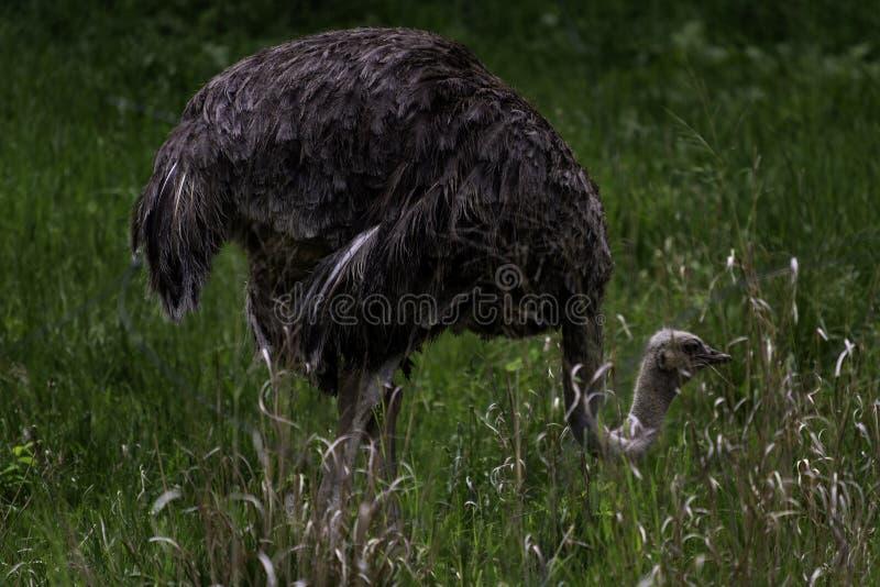 Gemeiner Strauß, der durch ein Feld des hohen Grases wandert lizenzfreie stockfotografie