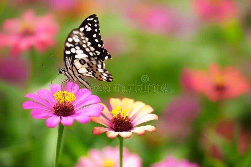 Gemeiner TIger Butterfly lizenzfreie stockbilder