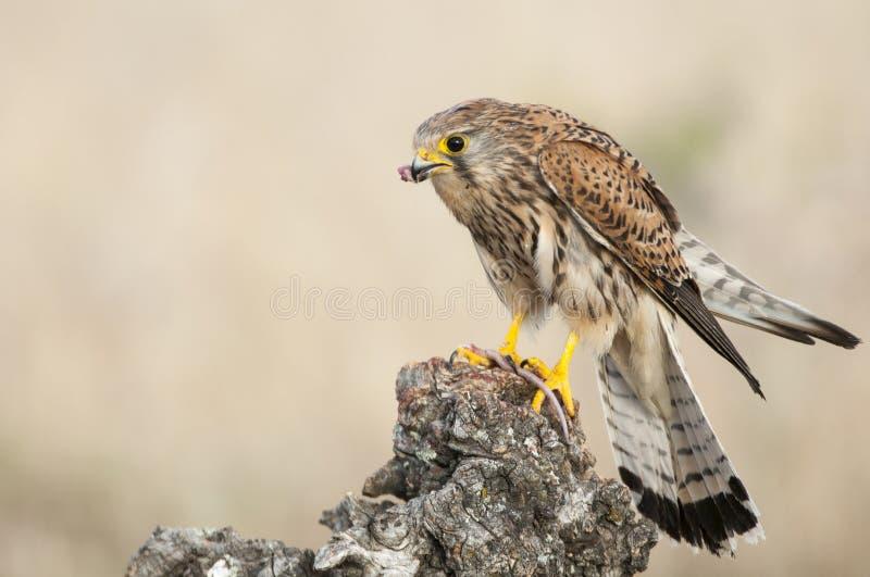 Gemeiner Turmfalke, der eine Maus - Falco-tinnunculus isst stockfoto