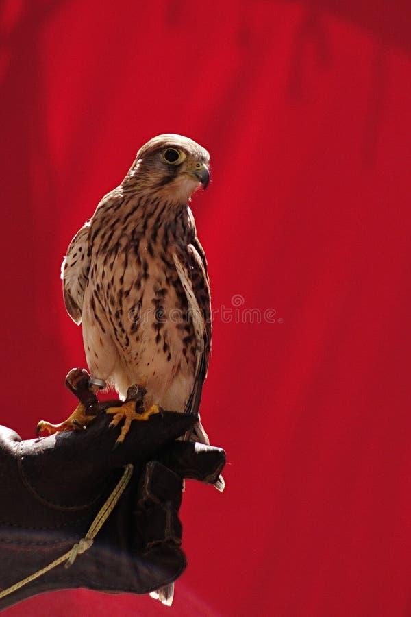 Gemeiner Turmfalke der Junge u. x28; Falco Tinnunculus u. x29; Sitzen auf Straßenverkäuferlederhandschuh vor rotem Vorhang lizenzfreie stockfotos