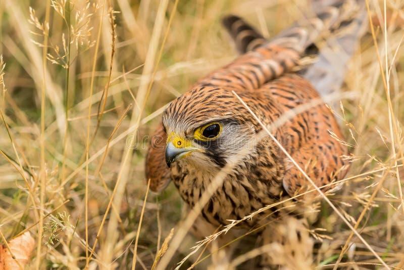Gemeiner Turmfalke, einer der gemeinsten Greifvögel stockfoto