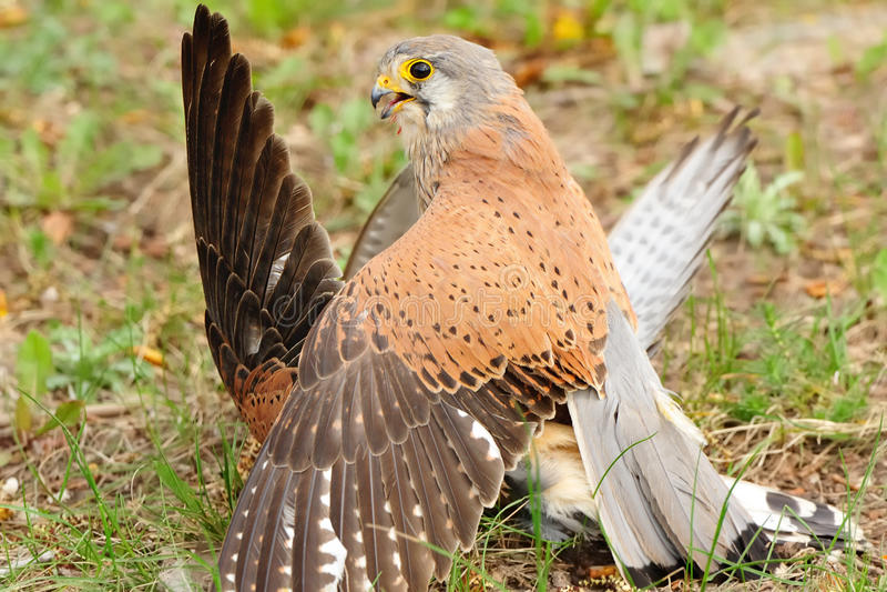 Gemeiner Turmfalke (Falco-tinnunculus) stockfotografie