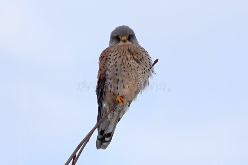 Gemeiner Turmfalke Falco-tinnunculus Jugendlichvogel stockfoto