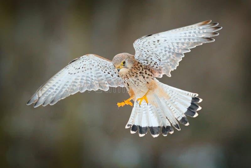 Gemeiner Turmfalke, Falco-tinnunculus, kleiner fliegender Raubvogel, Deutschland Vogel auf der Steinwand Szene der wild lebenden  lizenzfreies stockbild