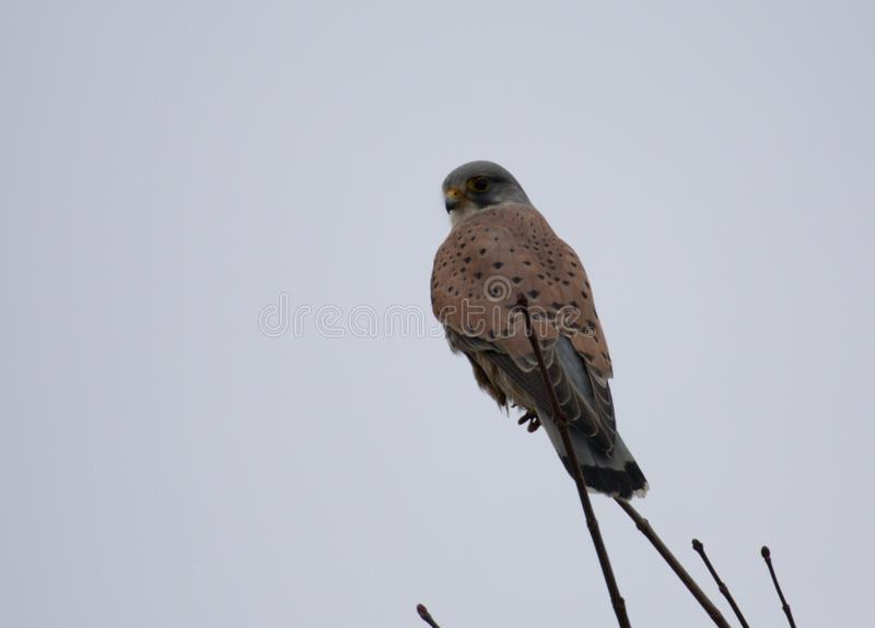 Gemeiner Turmfalke Falco-tinnunculus Mannesvogel stockfotografie