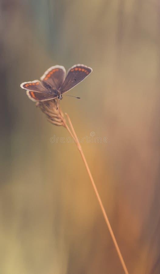 gemeines azurblaues Schmetterlingsinsekt in der Sommernahaufnahme in einer Wiese in der Farbe auf den braunen und orange Hintergr lizenzfreies stockbild