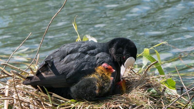 Gemeines Blässhuhn auf Nest lizenzfreie stockfotos