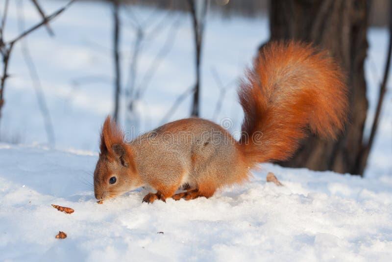 Gemeines Gehen europäischen Eichhörnchen Sciurus auf Schnee lizenzfreie stockfotografie