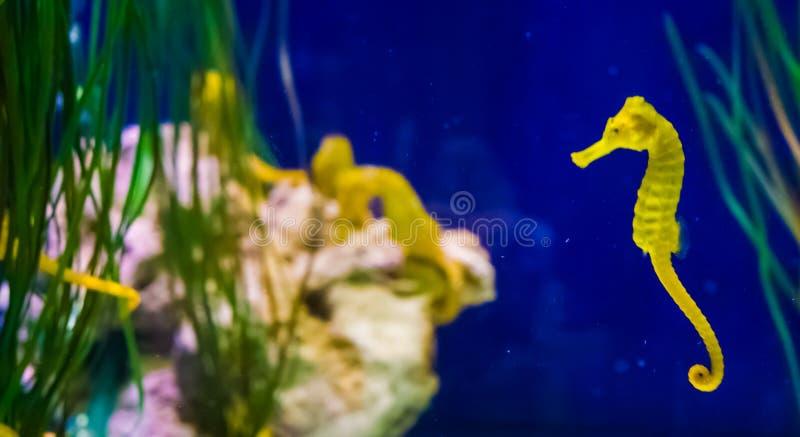 Gemeines gelbes Mündungsseepferdchen in der Makronahaufnahme mit Seahorsefamilie im Hintergrundmeeresflora und -fauna-Fischporträ stockfotos