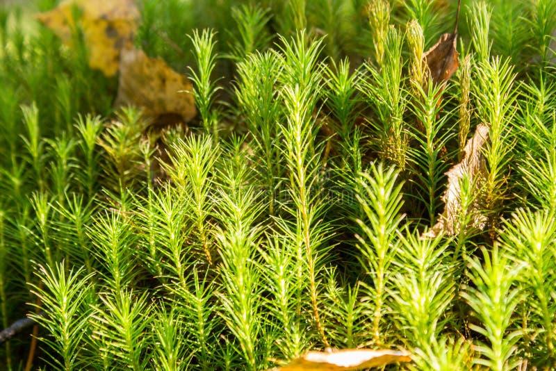 Gemeines Haar-Kappen-Moos im Wald stockbilder