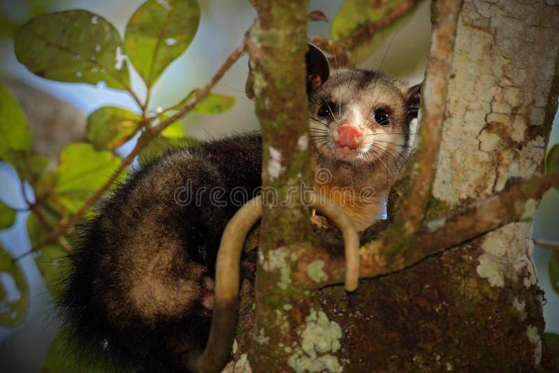 Gemeines Opossum, didelphischer Marsupialis, wilde Natur, Belize lizenzfreies stockfoto