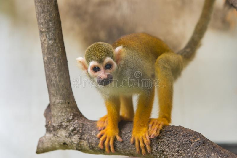 Gemeines Totenkopfäffchen, Saimiri sciureus auf Baum im Zoo stockbilder