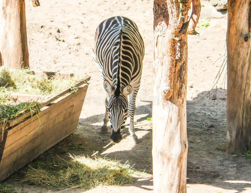 Gemeines Zebra, schönes gestreiftes Tier Equus Quagga, das trockenes Heu in der Zufuhr isst stockfotos