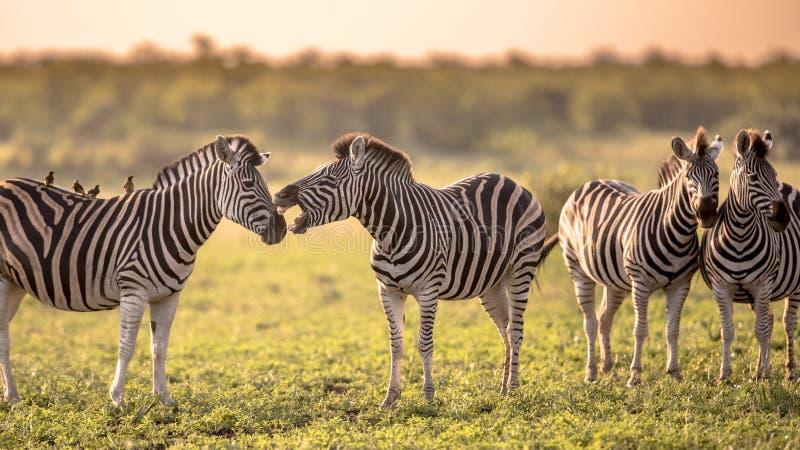 Gemeines Zebra vier, das auf Savanne sich pflegt stockfotografie