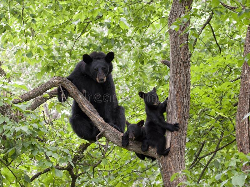 Gemelli del cucciolo di orso con la mamma in un albero immagine stock libera da diritti