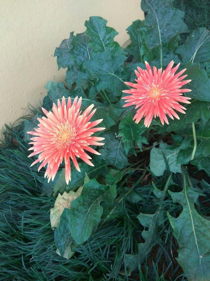 Gemelo  flor fotografía de archivo