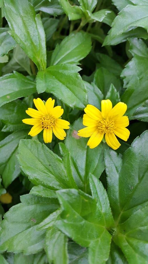 Gemelos, amarillo, flor, natural fotos de archivo libres de regalías