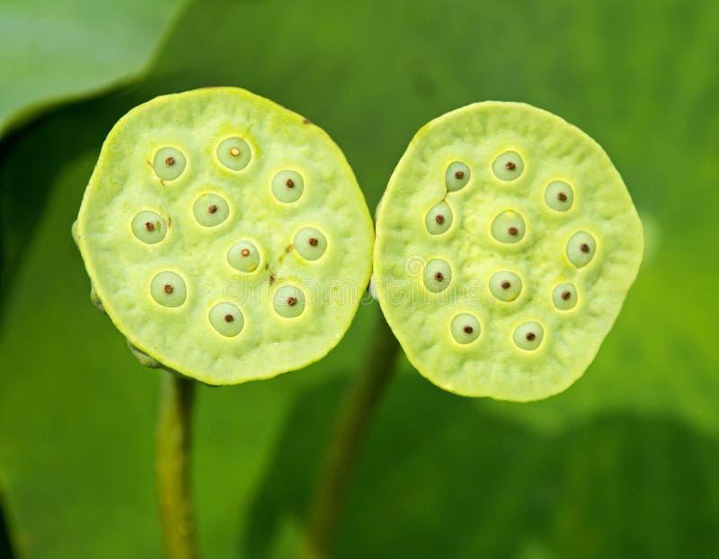 Gemelos Lotus Seedpods fotos de archivo