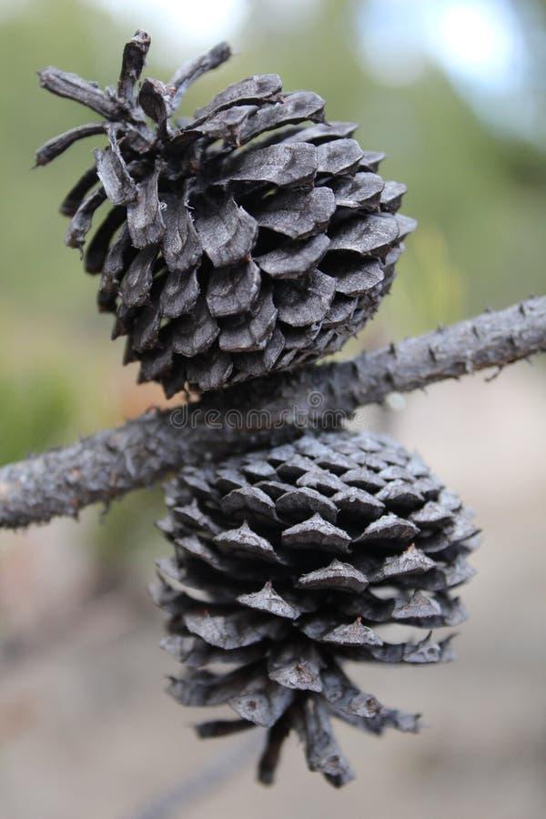 Gemelos secados de Pinecone fotos de archivo
