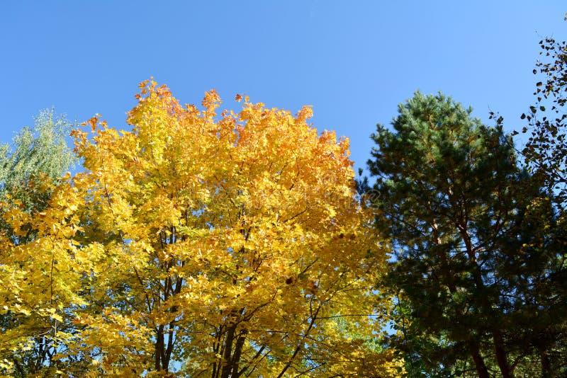Gemengd bos in de herfst Geel en oranje gebladerte van esdoornboom en groene kroon van pijnboom royalty-vrije stock afbeeldingen