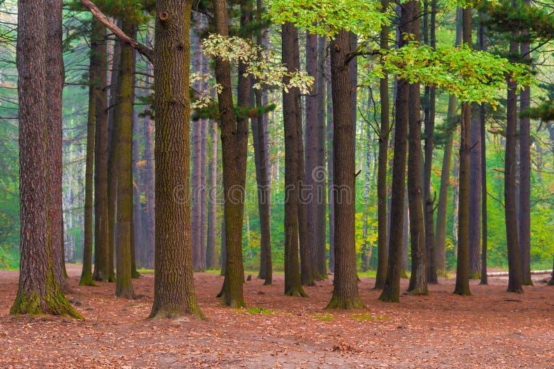Gemengd bos met oude lange bomen royalty-vrije stock foto's