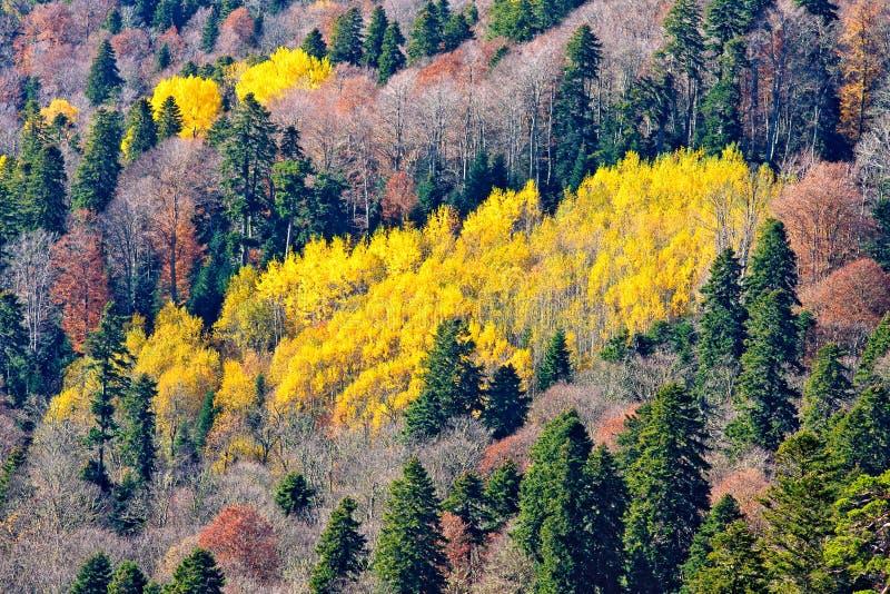 Gemengd naald en vergankelijk de bergbos van de Kaukasus bij de herfst Kleurrijke gele vlek van een bosje onder andere bomen Luch stock fotografie