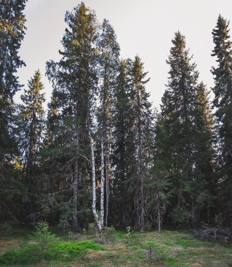 Gemengd pijnboom en berkbos in Finland royalty-vrije stock foto's