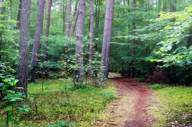 Gemengd pijnboom en vergankelijk bos stock afbeeldingen