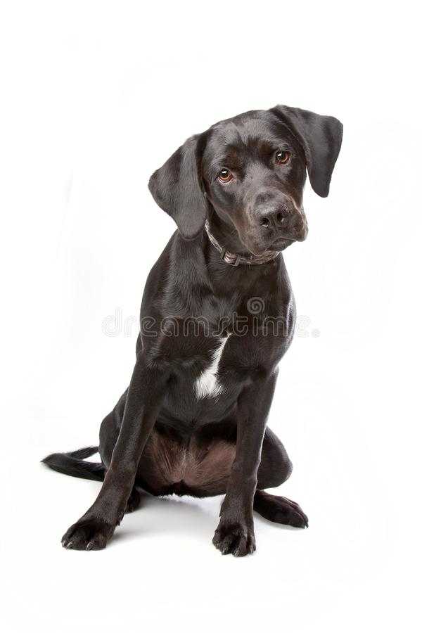 Gemengd rassenLabrador retrieverpuppy stock foto