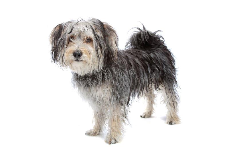 Gemengde rassen Maltese hond/Yorkshire terriër stock foto