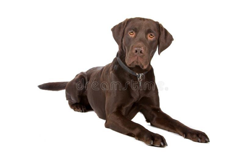 Gemengde rassenhond (Labrador retriever) royalty-vrije stock afbeeldingen
