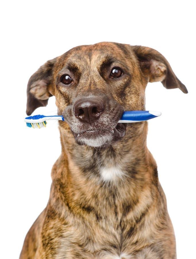 Gemengde rassenhond met een tandenborstel Geïsoleerdj op witte achtergrond royalty-vrije stock foto's