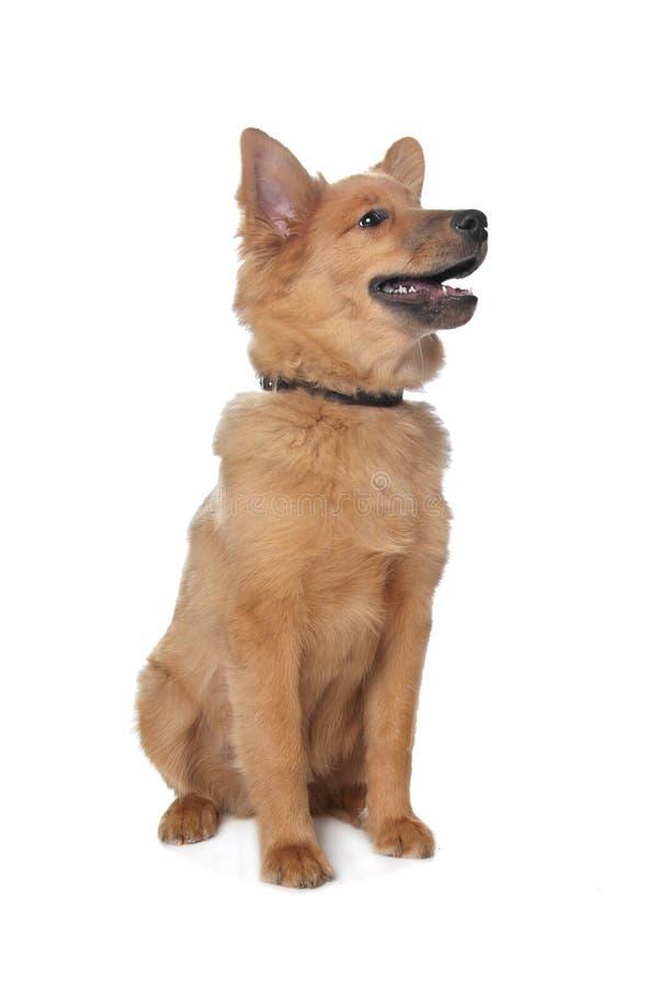 Gemengde rassenhond, sheltie en Eurasi?r stock fotografie
