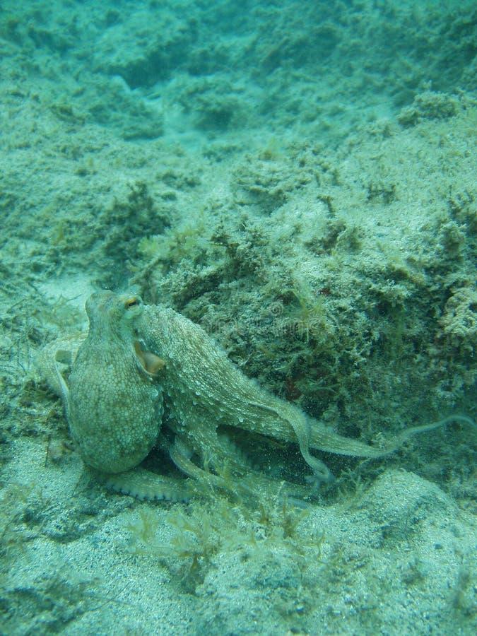 gemensam bläckfisk arkivfoton