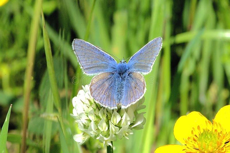 Gemensam blå eller brittisk blå fjäril - Polyommatus Icarus - som matar på växt av släktet Trifoliumblommor i en äng för lös blom arkivfoto