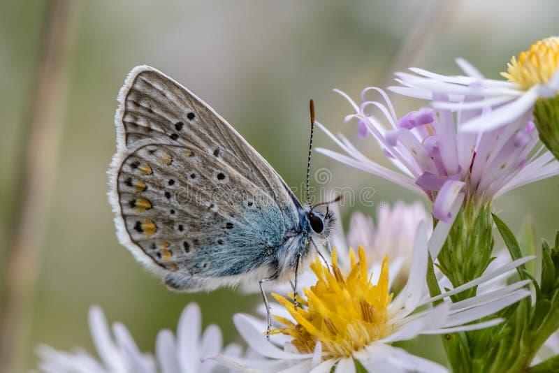 Gemensam blå fjäril på den lösa blomman fotografering för bildbyråer