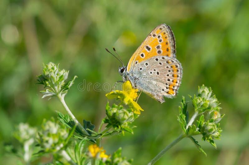 Gemensam blå fjäril på en wild blomma royaltyfria foton