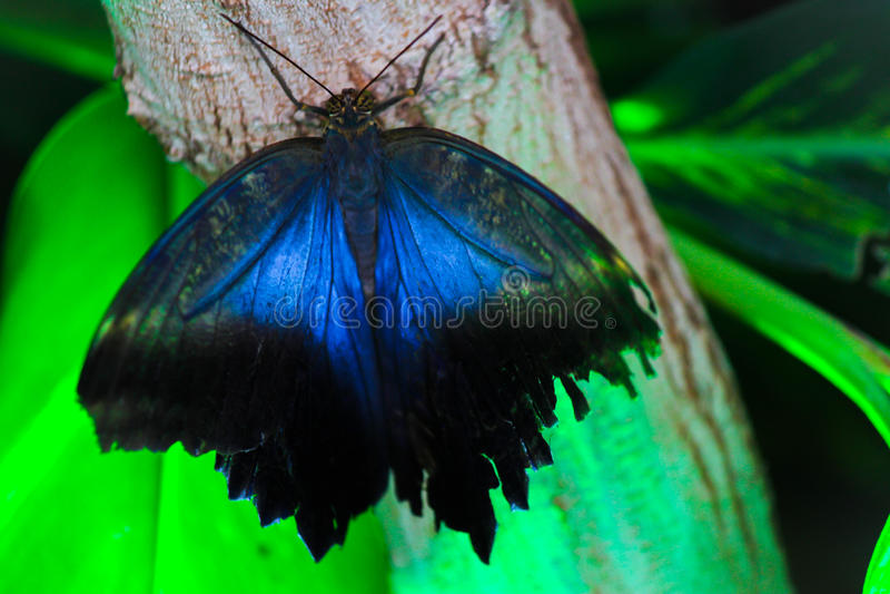 Gemensam blå Morpho fjäril royaltyfri fotografi