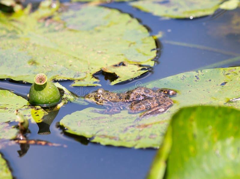 Gemensam brittisk groda som vilar på ett grönt liljablock i en liten sjö royaltyfria foton